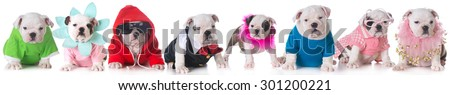 litter of bulldog puppies dressed up in costumes - 8 weeks old - stock photo