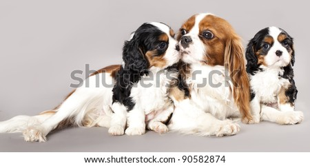 Litter of Cavalier King Charles spaniel monter and puppy - stock photo