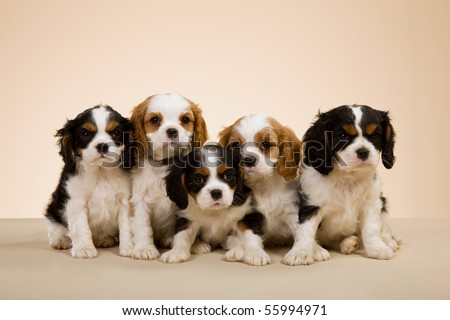Litter of Cavalier King Charles spaniel puppies on beige background - stock photo