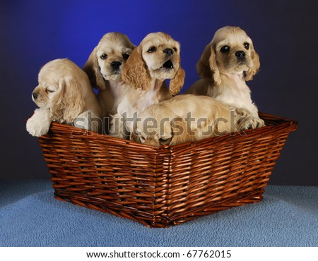 litter of cocker spaniel puppies in a wicker basket on blue background