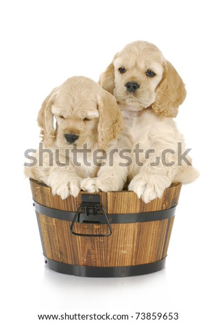 litter of cocker spaniel puppies in a wooden bucket on white background - stock photo