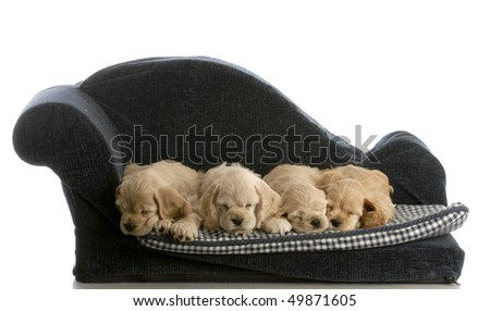 litter of cocker spaniel puppies laying down sleeping on a dog bed isolated on white background - stock photo