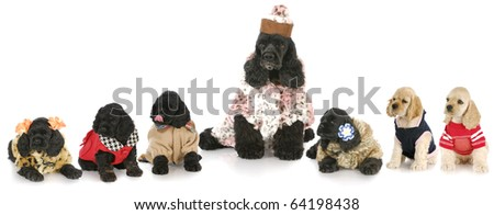 litter of cocker spaniel puppies with their mother all dressed in costumes with reflection on white background