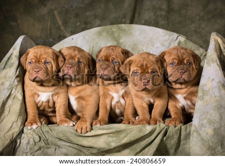 litter of dogue de bordeaux puppies - 5 weeks old - stock photo