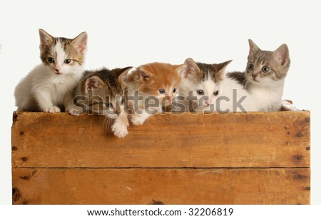litter of five kittens in a wooden box on white background - stock photo