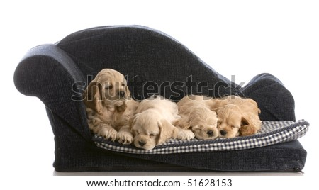 litter of four cocker spaniel puppies on a dog bed with reflection on white background - stock photo