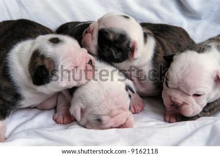 litter of new born bull dog puppies - stock photo