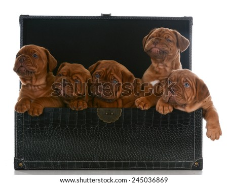 litter of puppies - five week old dogue de bordeaux pups in a trunk on white background - stock photo