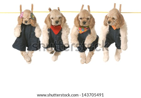 litter of puppies - four american cocker spaniel puppies hanging on a clothesline - 7 weeks old - stock photo