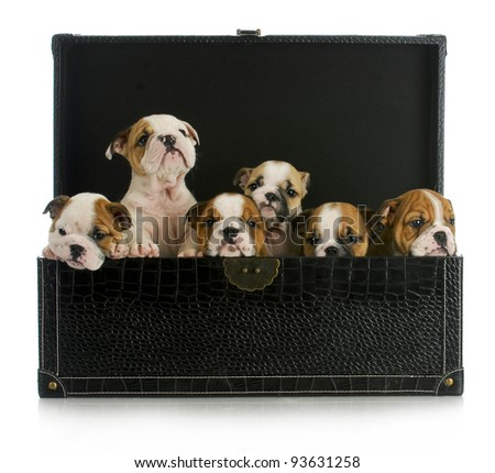 litter of puppies - six english bulldog puppies in a leather trunk - stock photo
