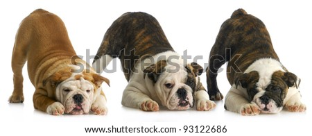 litter of puppies - three english bulldog puppies with bum up in the air - stock photo