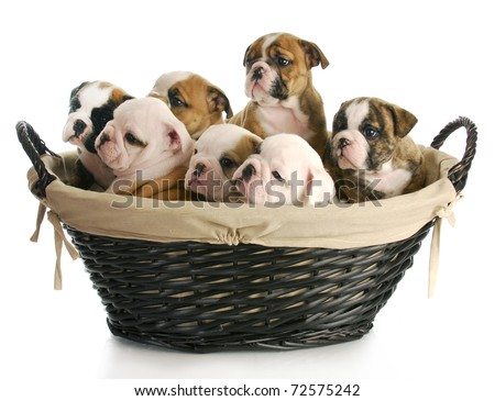 litter of puppies - wicker basket full of english bulldog puppies - 6 weeks old - stock photo