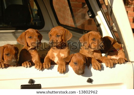 Litter of Rhodesian Ridgeback hound dog puppies looking out of a pick-up - stock photo