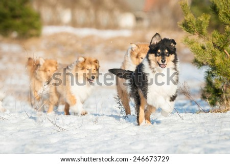 Litter of rough collie puppies playing in winter  - stock photo