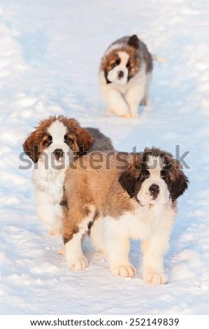 Litter of saint bernard puppies walking in winter - stock photo