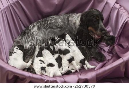 Litter of Seven English Cocker Spaniel Puppies Nursing. Three weeks old. - stock photo