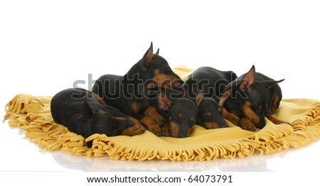 litter of toy manchester terrier puppies laying on yellow blanket with reflection on white background - stock photo