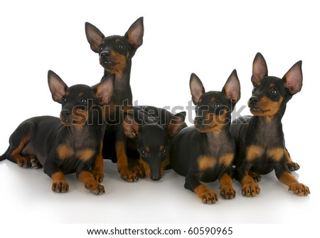 litter of toy manchester terrier puppies with reflection on white background - stock photo