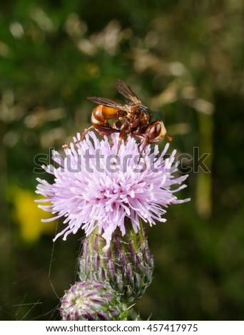 little alien: thick-headed fly (sicus ferrugineus) - stock photo