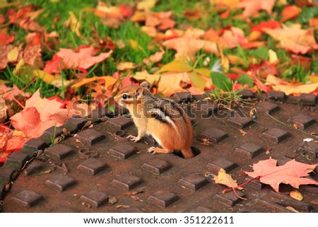 Little and cute chipmunk on manhole cover. Red autumn leafs on the floor. Ottawa, Ontario, Canada. - stock photo