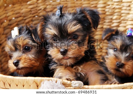 Little and cute puppies at home - stock photo