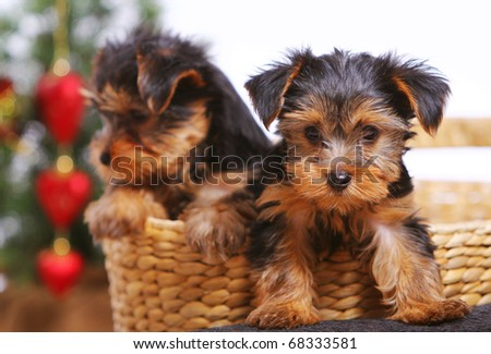 Little and cute puppies in basket - stock photo