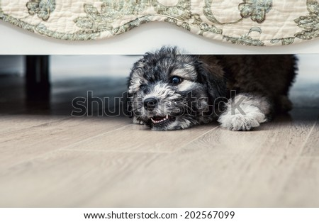 Little angry puppy under the bed - stock photo