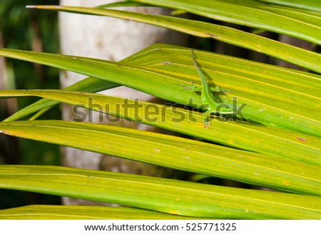 Little Anole lizard hiding amongst the foliage of the tree on Maui