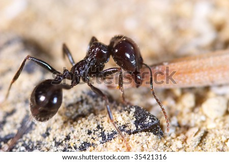 Little ant charging with food in its mouth - stock photo
