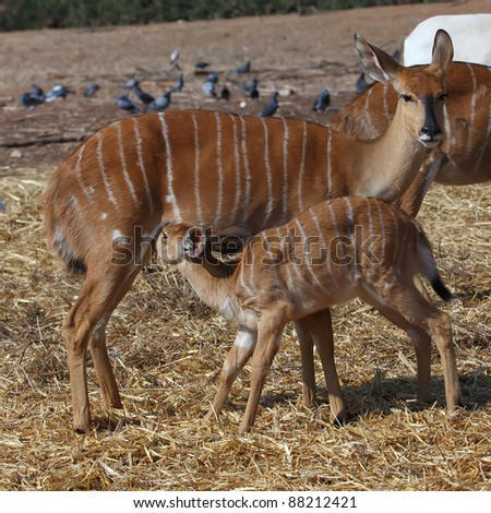 Little antelope Kudu trying to eat from his mom - stock photo