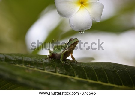 Little Australian native green tree frog - stock photo