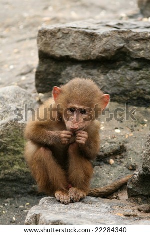Little baboon monkey eating - stock photo