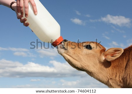 little baby cow feeding from milk bottle - stock photo