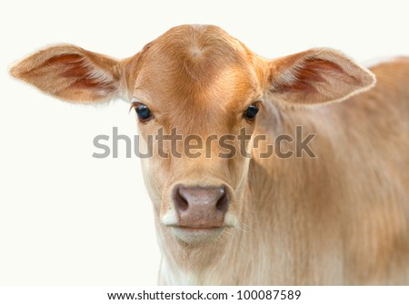 little baby cow isolated - stock photo