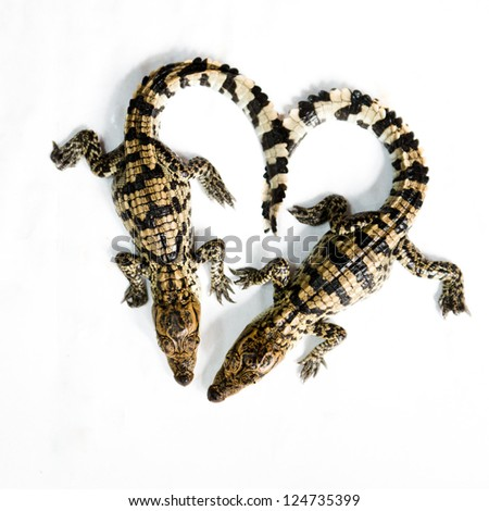 Little baby crocodile isolated on white. - stock photo