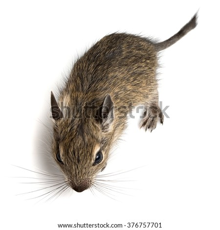 little baby degu hamster closeup top view on white background - stock photo