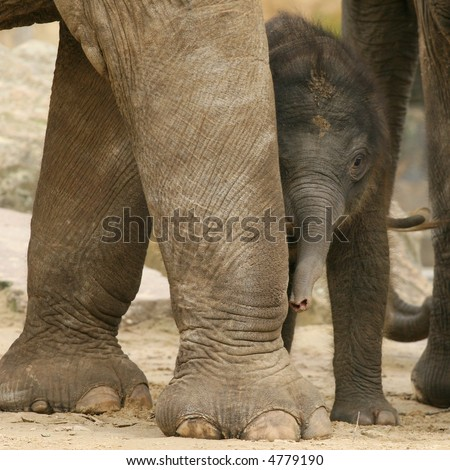Little baby elephant hiding behind leg of mother - stock photo