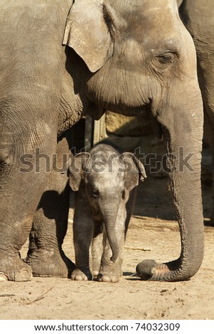 Little baby elephant next to its mother - stock photo