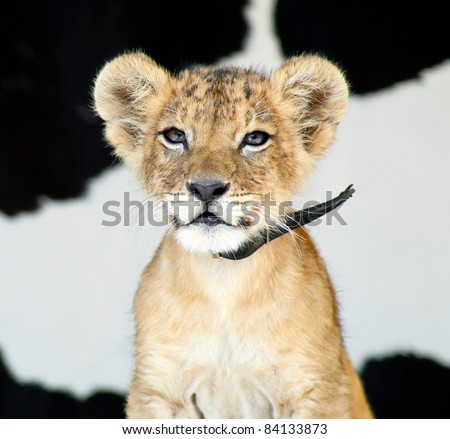 Little Baby Lion Cub Stock