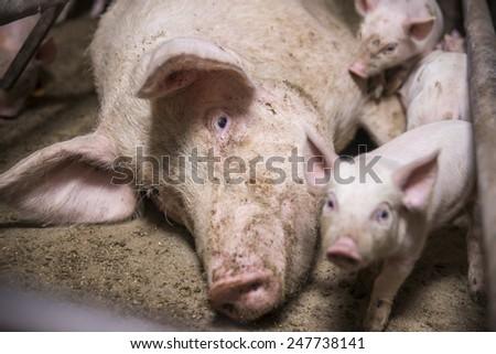 Little baby pigs. - stock photo