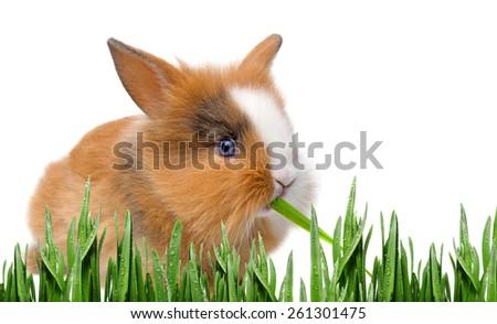 little baby rabbit eating grass - stock photo