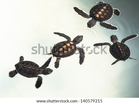 Little baby Sea turtles in nursery, Thailand - stock photo