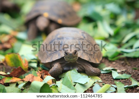 Little baby turtle crawling, Galapagos - stock photo