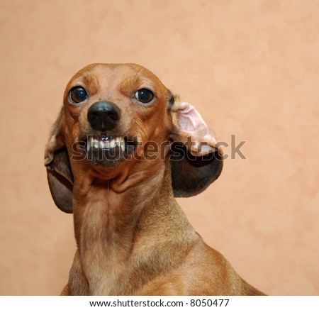 little badger-dog is smiling or angry - stock photo