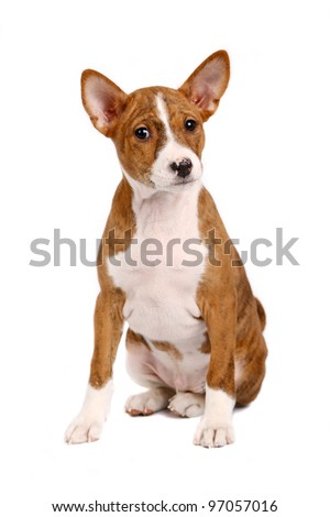 Little Basenji puppy, brindle colour, 2 month, isolated on white