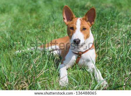 Little Basenji puppy (4.5 month old) having rest on a grass at sunny day. - stock photo