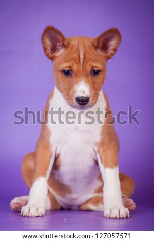 Little basenji puppy (1,5 month old) on the lilac background