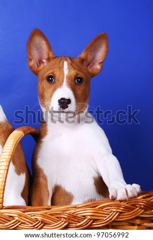 Little Basenji puppy, 2 mounth on the blue background