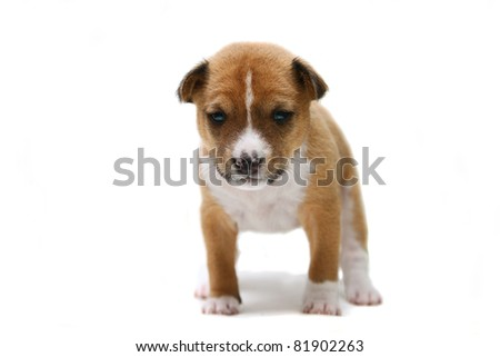 Little Basenji puppy, 3 weeks, on the white background