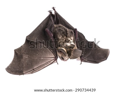 Little Bat - stock photo